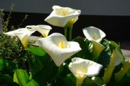 Calla Palustris, Water Arum 10 Seeds, Wild Calla - Charming Water Plant, Hardy,